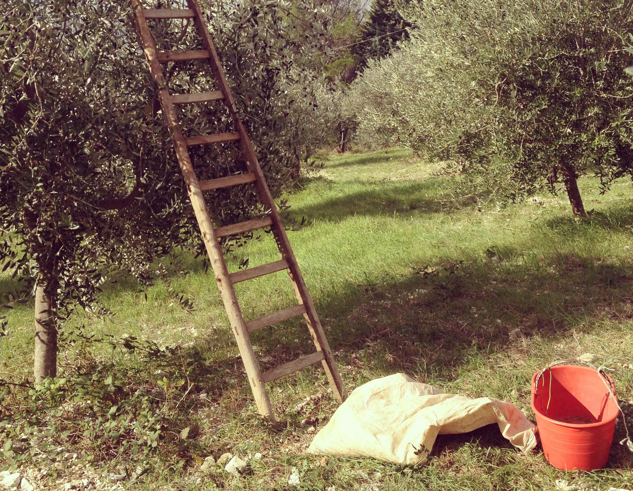olivo-umbria-3