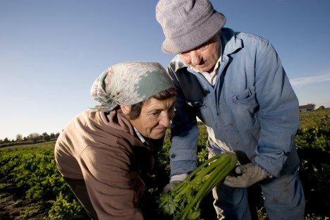 A Trevi è tempo di Sedano Nero. Venerdì 9 ottobre è la data ufficiale per l'inizio della campagna di raccolta 2020 del Presidio Slow Food