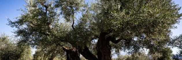 """Il 23 e 24 novembre a Giano dell'Umbria  la """"Rievocazione della Festa della Frasca"""". Si celebra la """"benfinita"""" della raccolta delle olive"""