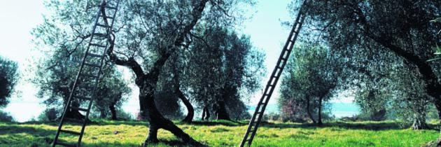 """La Strada dell'Olio e.v.o. Dop Umbria celebra l'arrivo della primavera e la """"Giornata internazionale della Poesia"""" con il progetto """"l'Ulivo della rinascita"""""""